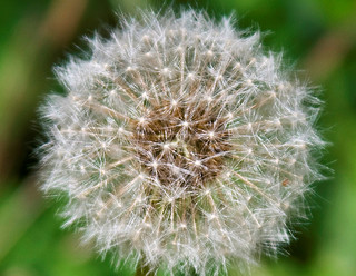 A dandelion clock: a sphere of seeds attached to a common center